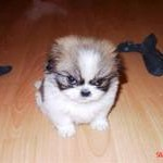 Angry Pup